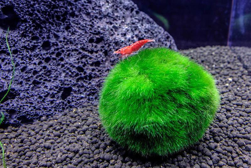 Fish girl writes marimo aegagropila linnaei care for Moss balls for fish tanks