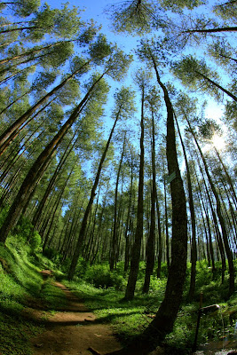 Rahasia Pohon Pinus