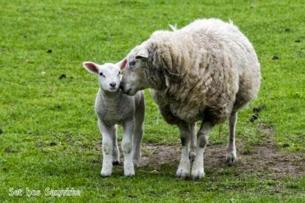 hvor kommer kashmir uld fra