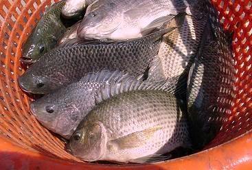 Budidaya-Ikan-Gurame