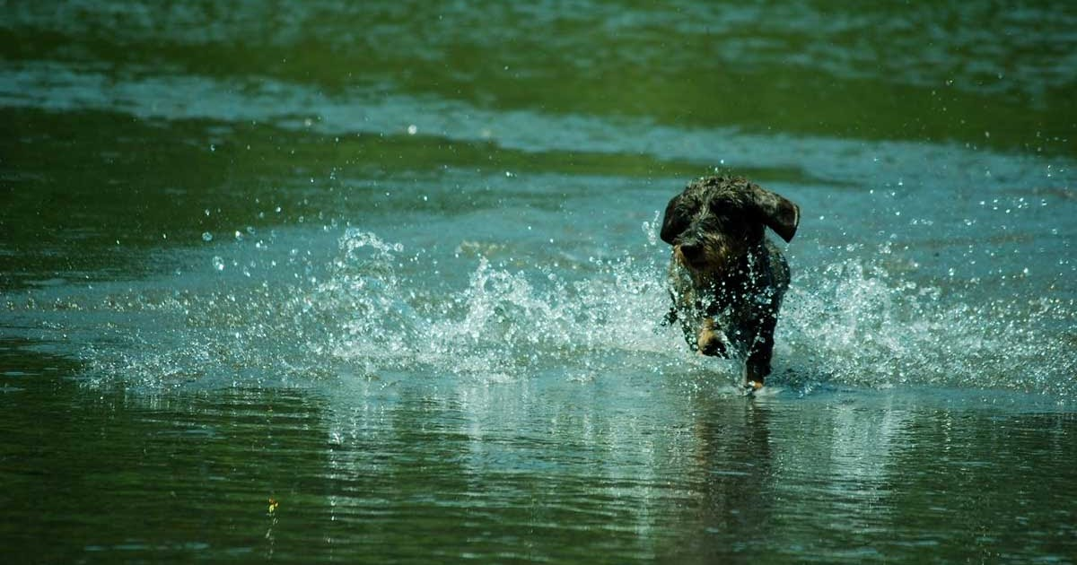 BORN-TO-TRACK BLOG: Max in the Cowlitz River: German wirehaired ...