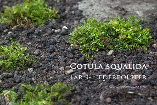 Rasenersatzpflanzen Polsterstauden statt Rasen für normal feuchte Stellen im Garten