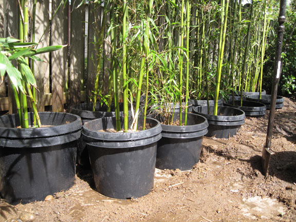 how to take cuttings from bamboo the garden of eaden