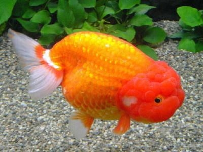 Aquarium fish lionhead goldfish pictures pets cute and for Cute freshwater fish