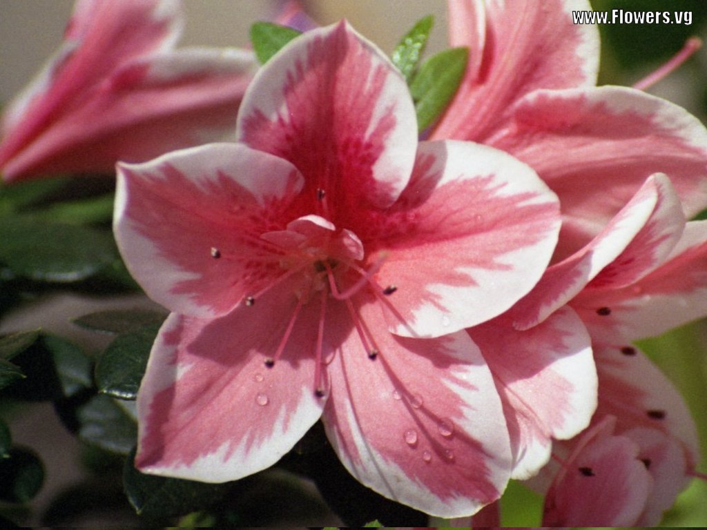 Azalea flowers pink