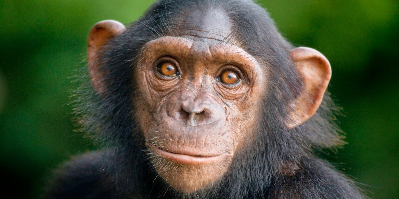 Mirada antropológica. Chimpanc%C3%A9