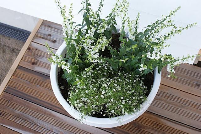 harsokukka, valkoinen ruukku, minimalistinen puutarha