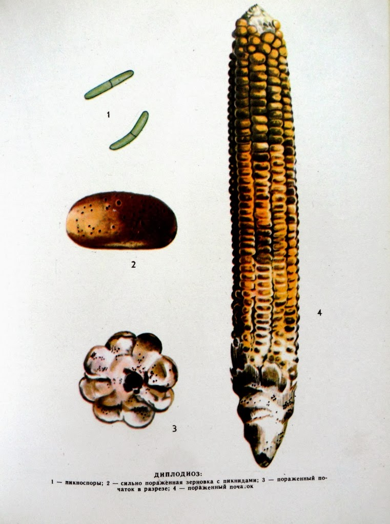Диплодиоз (сухая гниль) кукурузы