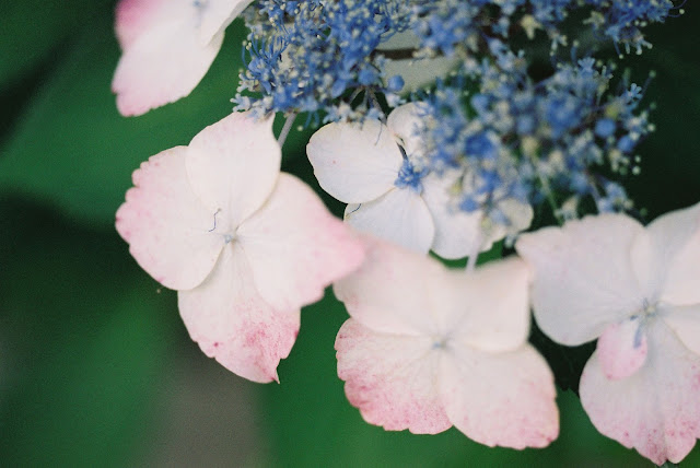 pink and blue colored hydrangea