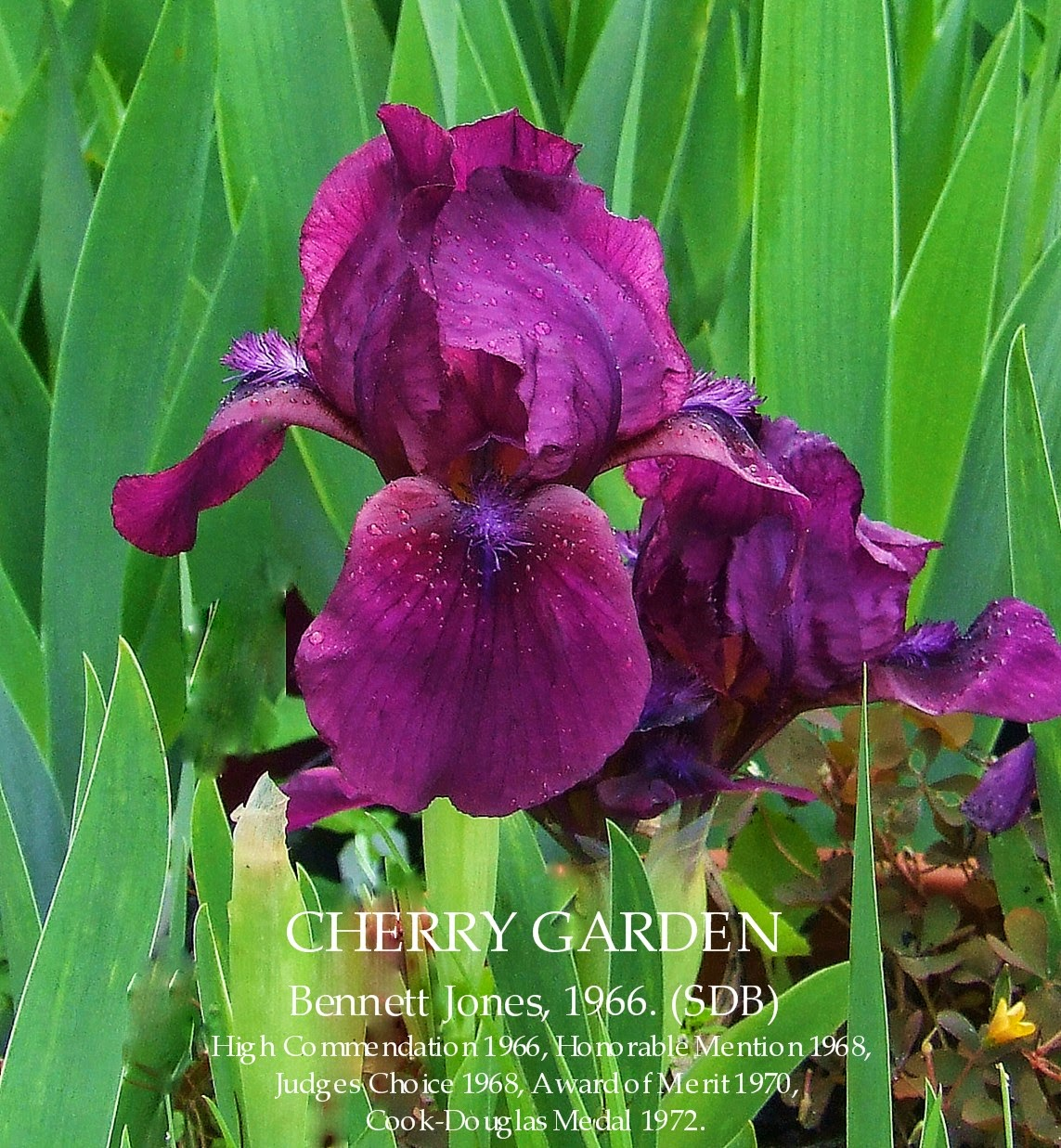 Standard dwarf bearded iris cherry garden heritage irises every spring the iris growers in new zealand await the opening of the first iris flowers in their gardens sometimes even when the last snow is still on izmirmasajfo