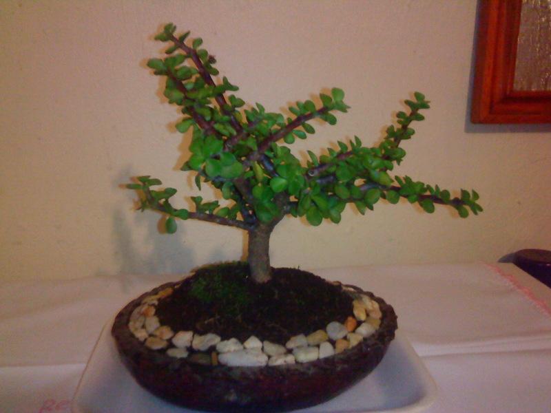 Aventura ecologica venta de bonsai y planta ornamental - Plantas para bonsai ...