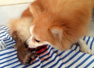 Proses Kelahiran Anak Anjing Pomeranian