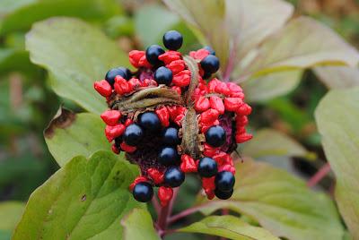 Семена Paeonia × chameleon