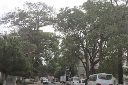 """Gia Lai: Nỗ lực cứu hàng nghìn """"cây biểu tượng"""" của phố núi Pleiku"""