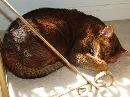 Red Abyssinian Cat - Sorrel - Cinnamon