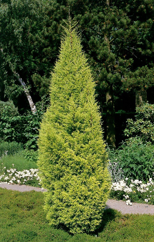 Dream Garden 3 Cipreste Monterey Cipreste Da Califrnia