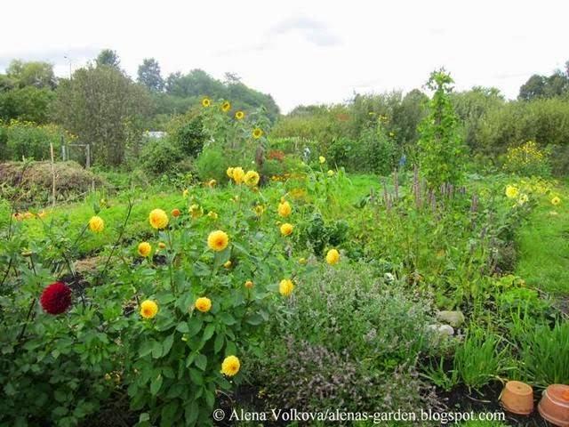 аленин сад, часть3, до, после, участок, дача, освоение участка, целина, сад, огород, георгины