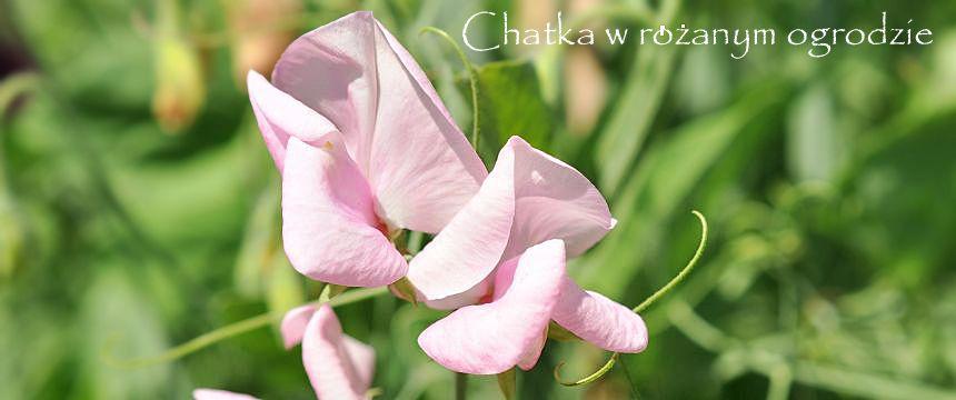 Chatka w różanym ogrodzie