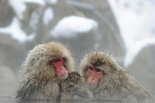 قردة المكاك اليابانية نفسها البرد!