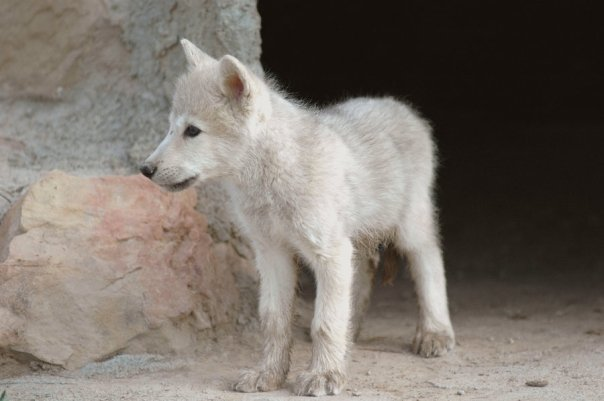 Cute white wolf pup with blue eyes - photo#6