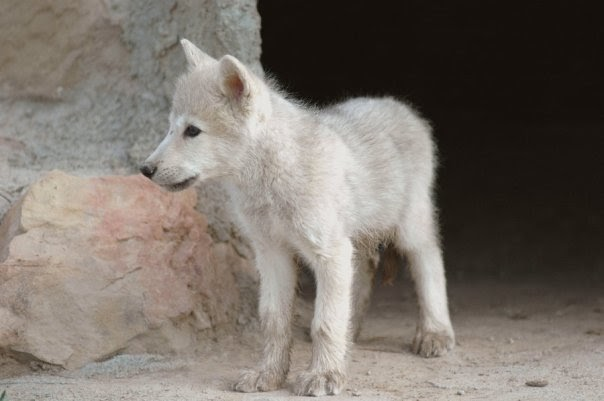 white wolf photos beautiful wolf pups they are the