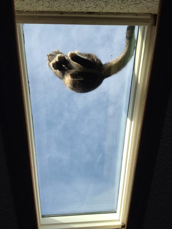 Funny cats - part 90 (40 pics + 10 gifs), cat sits on ceiling glass
