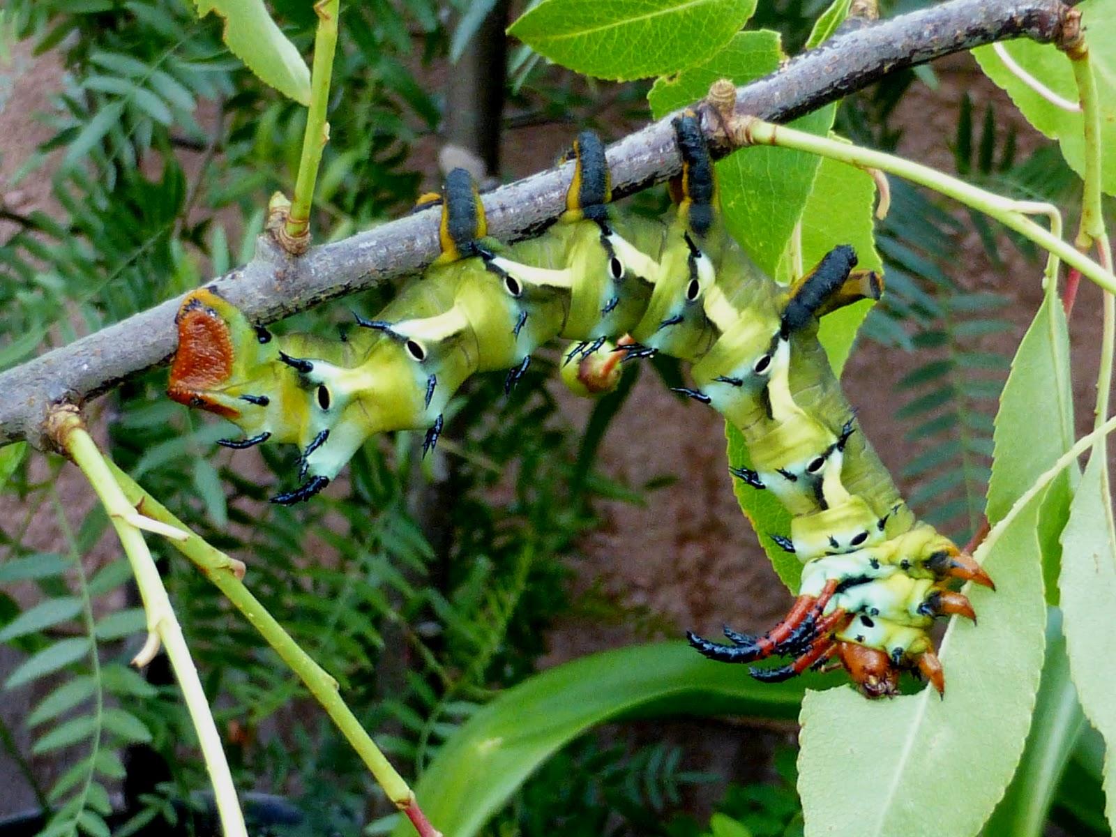 Citheronia regalis caterpillar L5