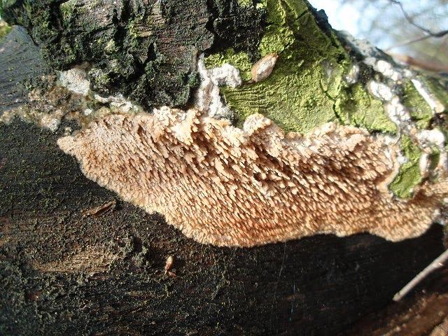 Radulomyces molaris