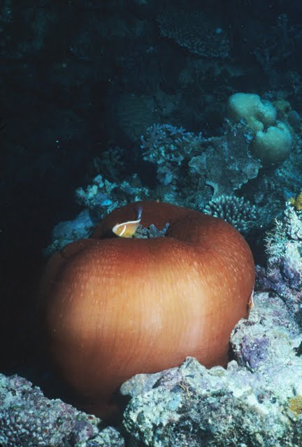 Magnificent Sea Anemone closed with Pink Anemonefish 3