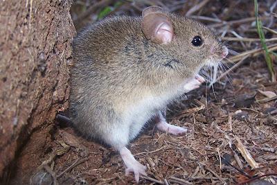 Large Vesper Mouse