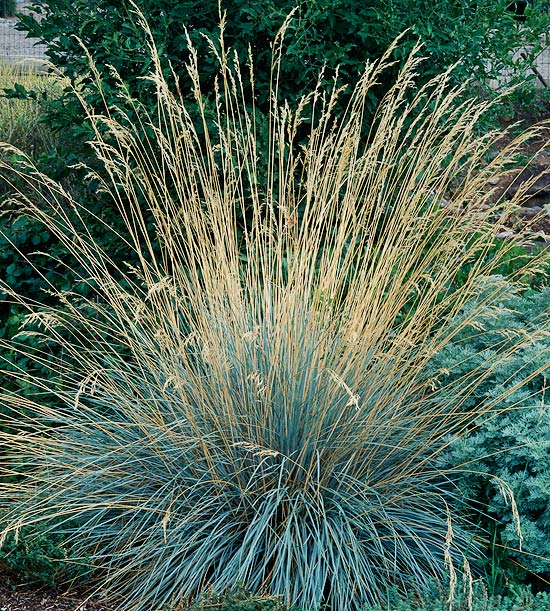 7 awesome ornamental grasses for every cottage garden for Blue grasses for the garden