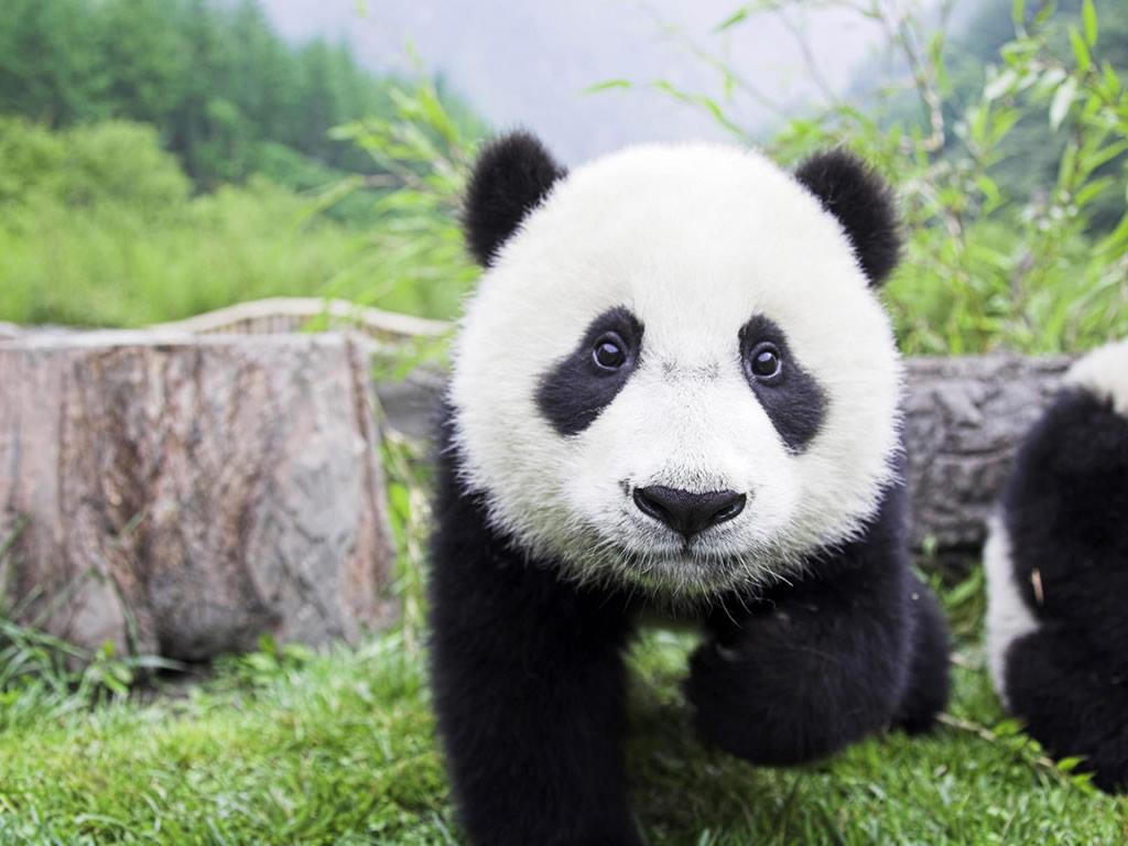 Baby Panda Wallpaper -...