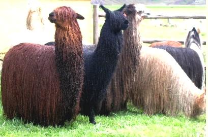 Alpaca Suri (Su fibra es lacia, sedosa, lustrosa y brillante)