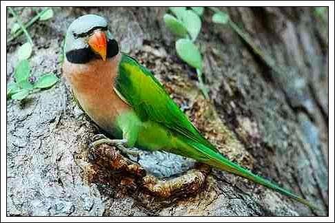 jenis burung betet di wilayah madiun