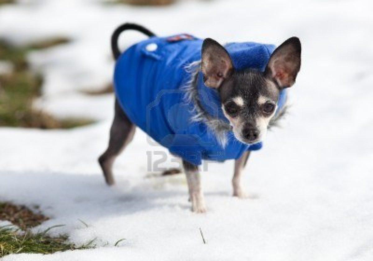 Cute Dogs: Cute Chihuahua Maltese Shih Tzu Brown And White