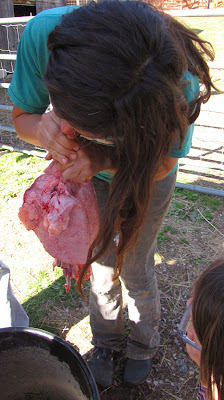 inflating sheep lungs after slaughter healthy
