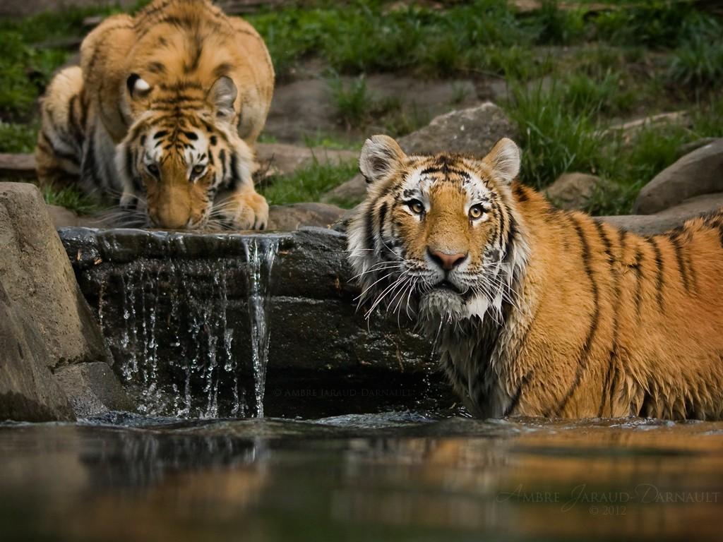 http://1.bp.blogspot.com/-Oc62AqiHnrU/UE-lUfcJNSI/AAAAAAAAJzQ/4SP8v8zMwjE/s1600/Hermosos+Tigres+%5B+Wallpaper+HD+%5D.jpg