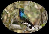 Festival del Colibri Esmeralda en Olanchito