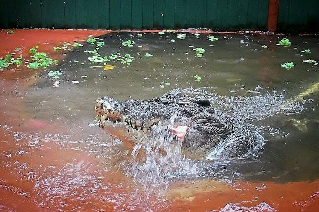 Cassius Clay - World's Largest Crocodile