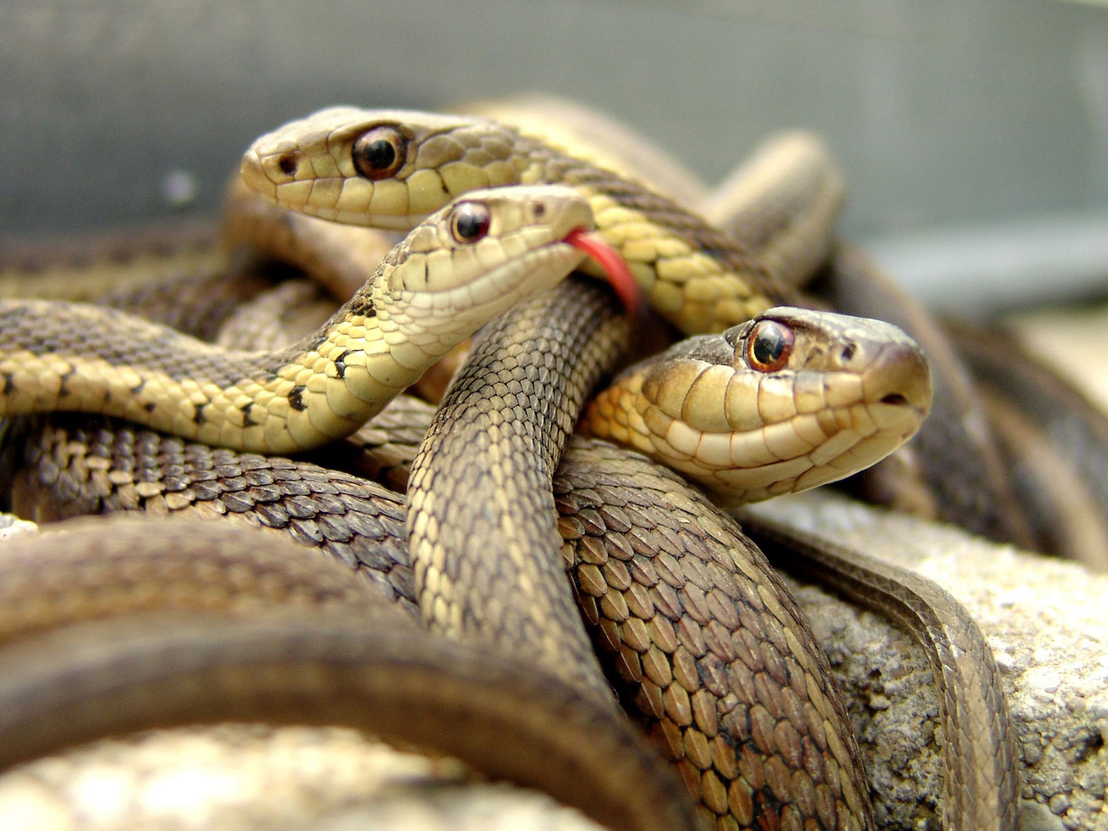http://1.bp.blogspot.com/-OcmjznkKHbk/UEX6WLyZT1I/AAAAAAAABUc/dO-yTQmbWug/s1600/snake%2Bwallpapers%2Bhd%2B4.jpg