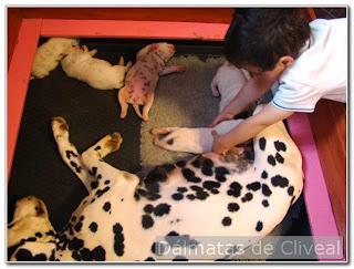 cachorros de dálmata y un niño