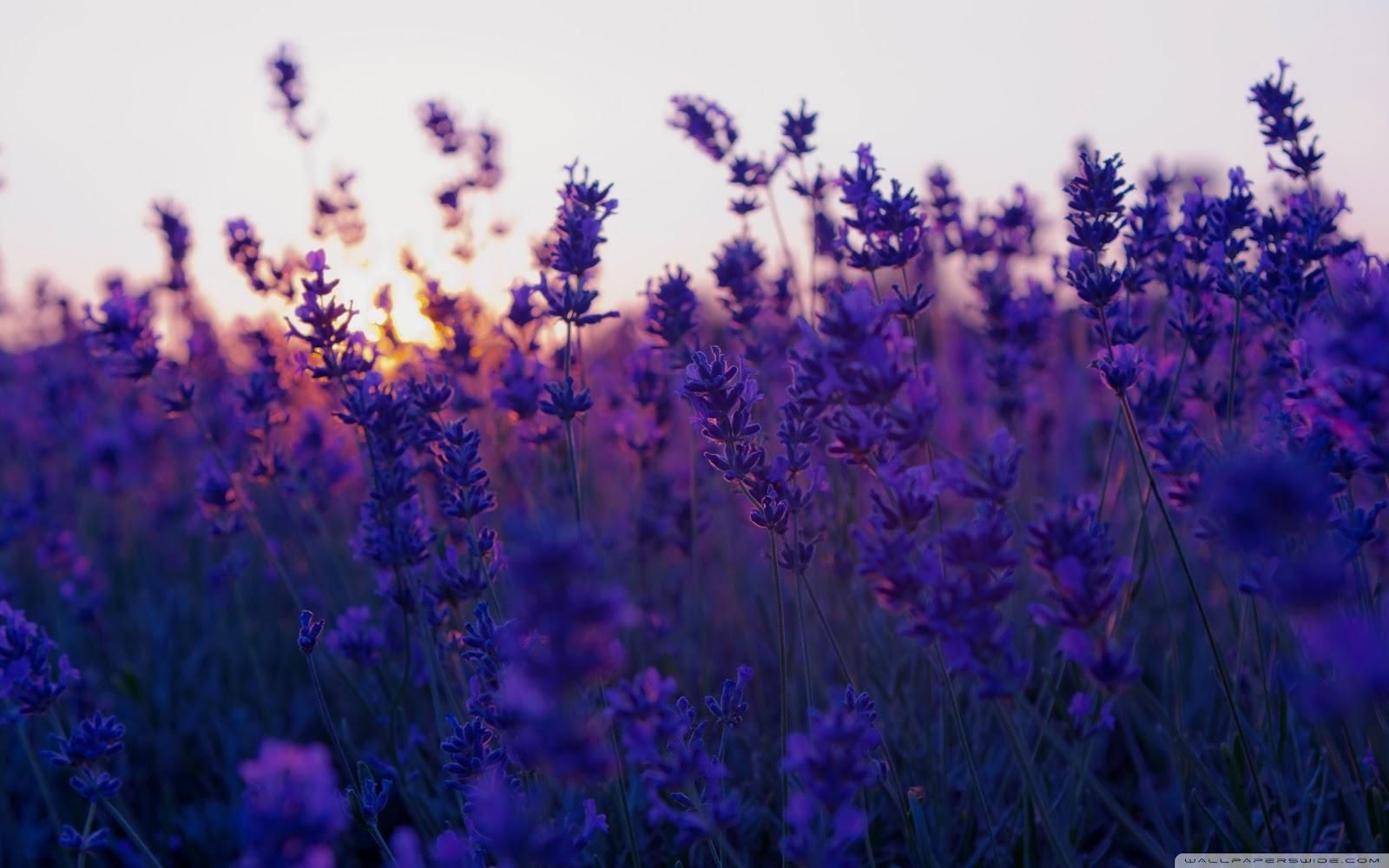 http://1.bp.blogspot.com/-OctB7K0kI5w/T6wtC0DwLPI/AAAAAAAAAWg/CUOYCdZK-ic/s1600/lavender_field_and_sunset-wallpaper-2560x1600.jpg