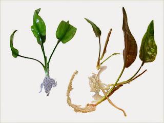 gambar-Cryptocoryne Pontederifolia-tanaman-rosette-aquascape
