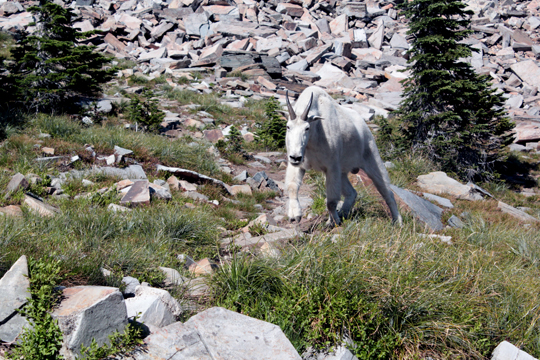 idaho mountain goat