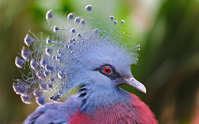 Paloma Victoria Coronada Aves Exóticas