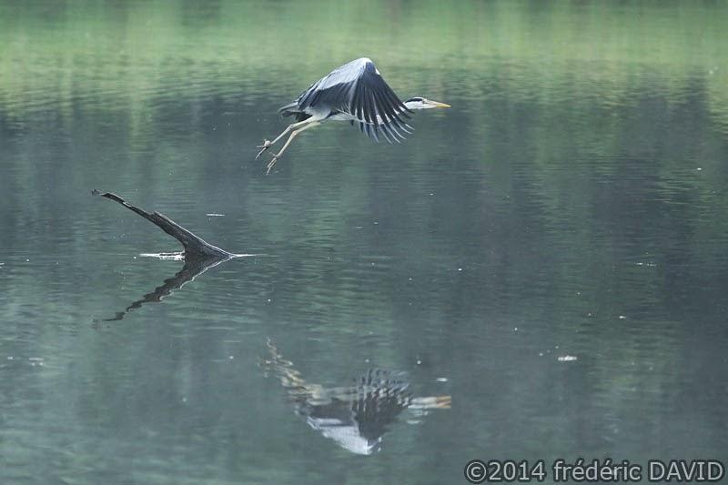 animaux oiseau héron cendré marais Misery Essonne
