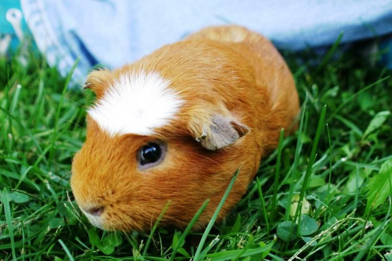 Crested guinea pig - photo#12