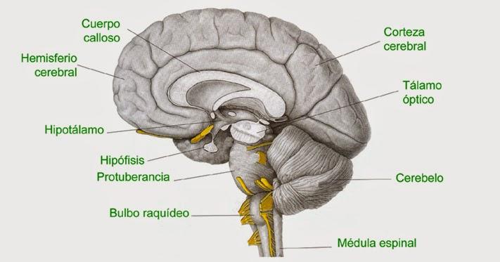 Tallo Cerebral | Psicología y más a través de una visión Zaragozana