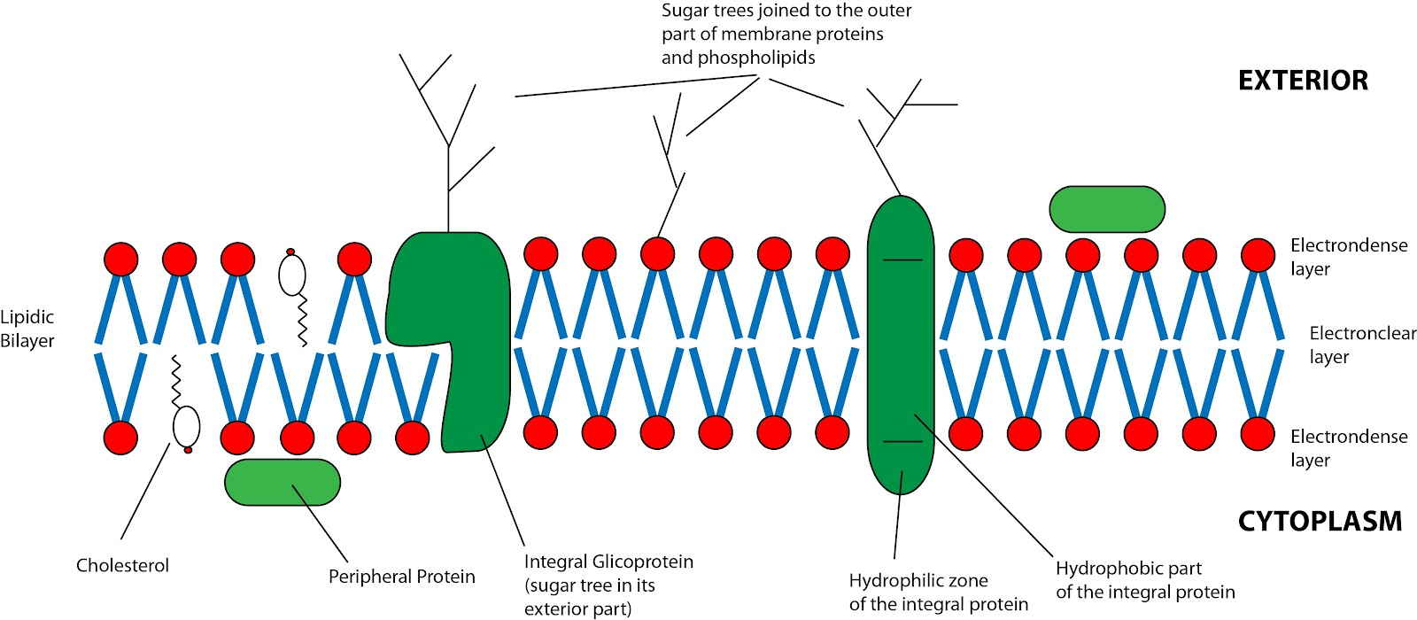 Anatomy of cell membrane