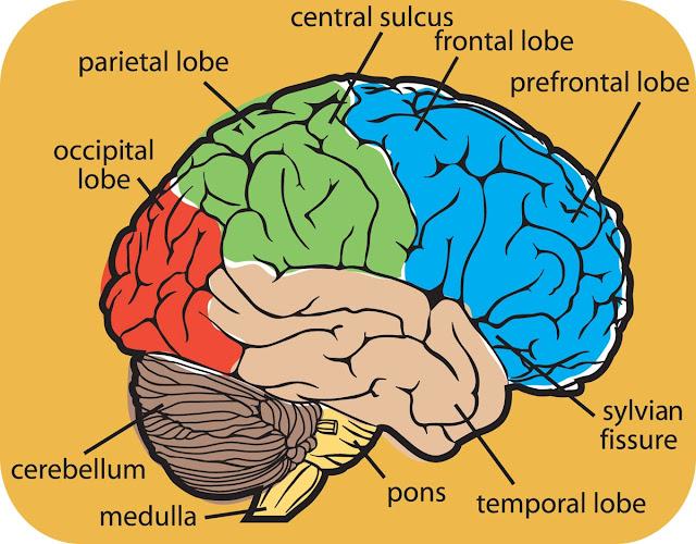 Brain Anatomy6
